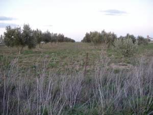 olivar1 small